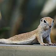 Yoga Ground Squirrel Style Art Print
