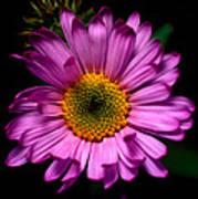 Yoho - Subalpine Fleabane Wildflower  Art Print