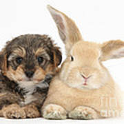 Yorkipoo Pup With Sandy Rabbit Art Print