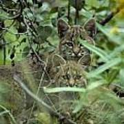 Young Bobcats Art Print by Michael S. Quinton