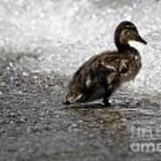 Young Duck On The Beach Art Print