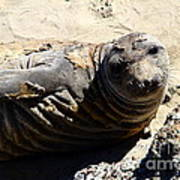 Young Elephant Seal Molting . 7d16091 Art Print by Wingsdomain Art and Photography