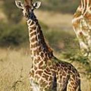 Young Giraffe In The Mara Print by Alan Clifford