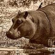 Young Hippo Art Print