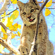Young Lynx In A Tree Art Print