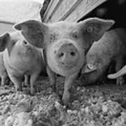 Young Pigs In A Snowy Pen. Property Art Print