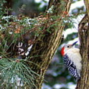 Young Red-bellied Woodpecker Art Print