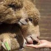 Young Sheep Are Hand Fed Art Print