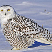 Young Snowy Owl Art Print