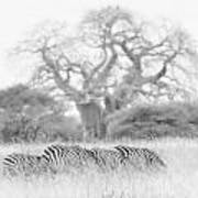 Zebra And Tree Art Print