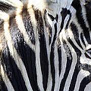 Zebra Face  Art Print