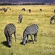 Zebra Grub Art Print