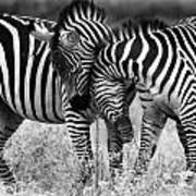 Zebra Hug 2 Art Print