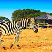 Zebra In The Grassland  Art Print