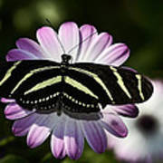 Zebra Longwings Art Print