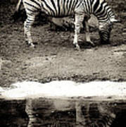 Zebra Reflection  Art Print