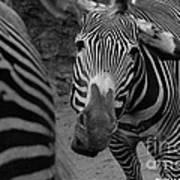Zebra Sad Art Print
