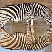 Zebra Times Two Art Print