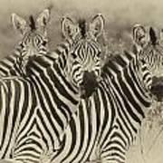 Zebra Trio Art Print