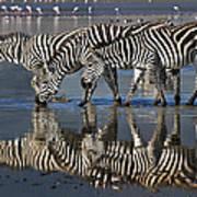 Zebras Drinking Ngorongoro Crater Tanzania Art Print
