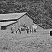 Zebras In San Simeon Art Print