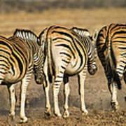 Zebras Three Art Print