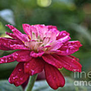 Zinnia Quenched Art Print