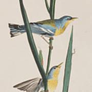 Blue Yellow-backed Warbler Art Print