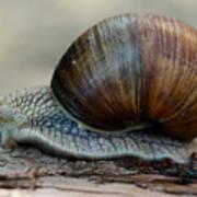 Burgundy Snail Art Print