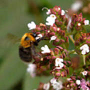 Cuckoo Bumblebee Art Print