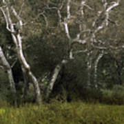 Dv Creek Trees Art Print