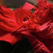Flamenco Flower Art Print