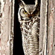Great Horned Owl Perched In Barn Window Print by Mark Duffy