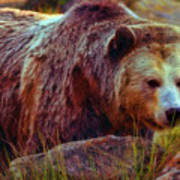 Grizzly Bear In Rocks Art Print