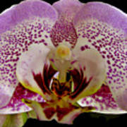 Kiss Of Orchid  Art Print