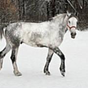 Light  Grey Horse Goes On A Winter Glade  Art Print