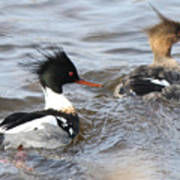 Red-breasted-merganser-ducks Art Print