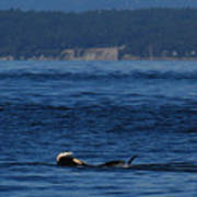Southern Resident Orcas And Salmon Off The San Juan Islands Playing With Salmon Art Print