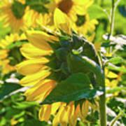Sunflower 7249a Art Print