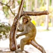 Swinging Monkey Art Print