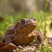 The Common Toad 3 Art Print