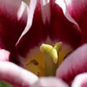 Tulip Art Print by Patricia M Shanahan