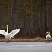 Whooper Swans 2 Art Print