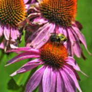 01 Bee And Echinacea Art Print