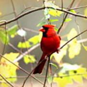 0138 - Cardinal Art Print