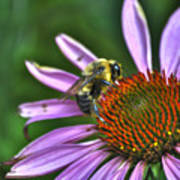 02 Bee And Echinacea Art Print