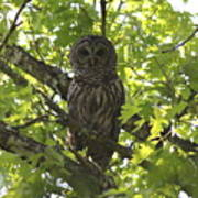 0313-010 - Barred Owl Art Print