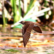 0518 - Northern Rough-winged Swallow Art Print
