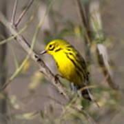 0839 -yellow Warbler Art Print
