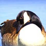 0932 - Canada Goose Art Print